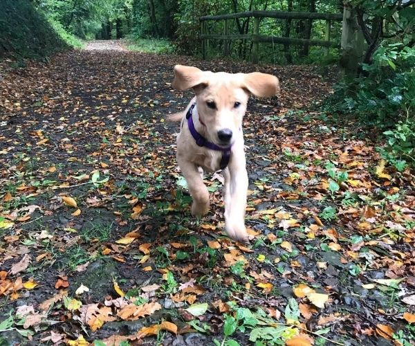 Puppy running along a leafy track