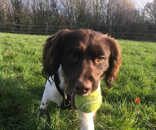 close up of spaniel with tennis ball in his mouth