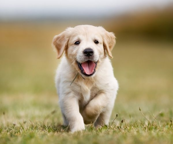 Labrador puppy at Online Dog Training Course